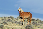 Wild Mustang Mare