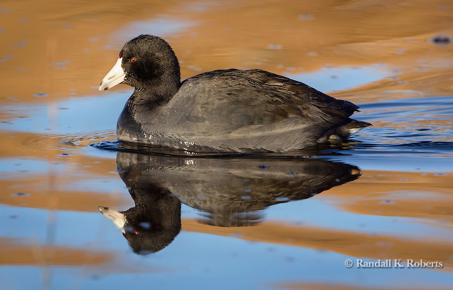 Black scoter, Bosque del Apache National Wildlife Refuge, New Mexico