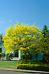 7672-CD Sunburst Honeylocust, Gleditsia triacanthos `Sunburst', in front yard, at Salem, Oregon,