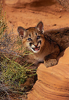 COUGAR/MOUNTAIN LION/PUMA..Four month old young..Near Canyonlands National Park, Utah..Autumn. (Felis concolor).