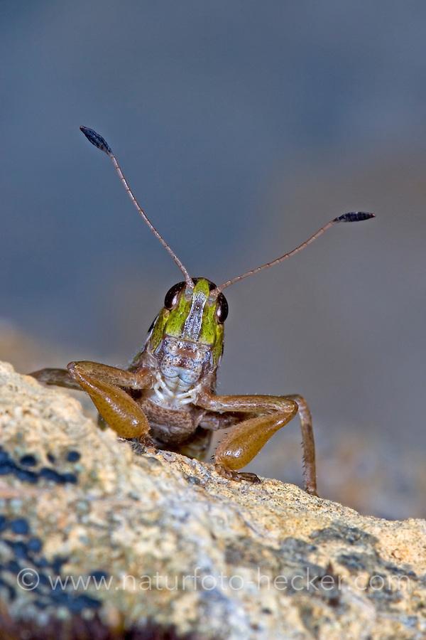 Sibirische Keulenschrecke, Männchen, Gomphocerus sibiricus, Aeropus sibiricus, club-legged grasshopper, Sibirian grasshopper, male