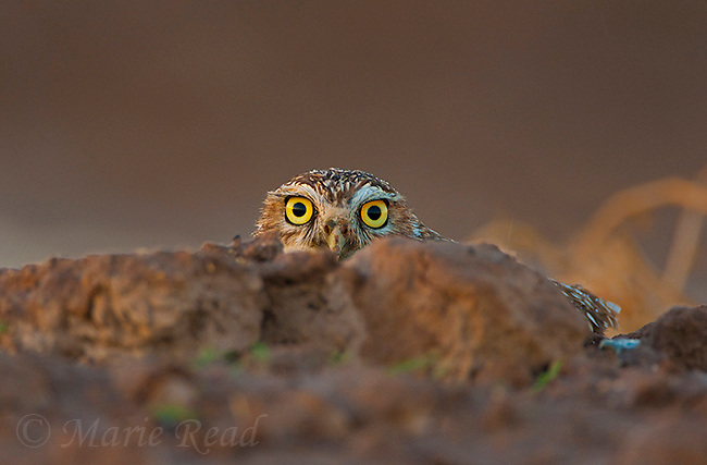 Burrowing Owl (Athene cunicularia) peering out from behind rock at sunset, backlighting, Salton Sea National Wildlife Refuge, California, USA