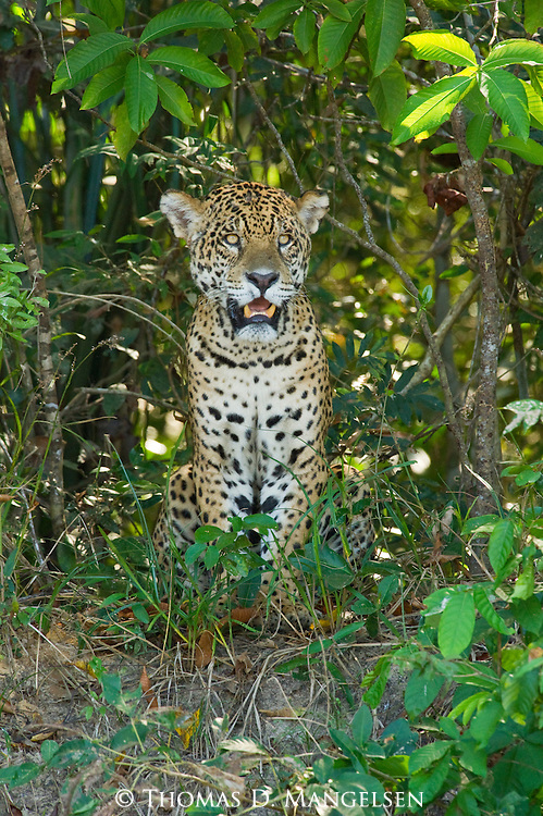 A jaguar sits at the edge of the jungle along the Cuiaba River in the Pantanal of Brazil.
