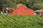 Red barn, vineyard, Santa Lucia Mts., Calif.