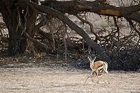 Springbok ewe nursing her young