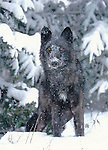 FB 246   Gray wolf in snow.  5x7 postcard