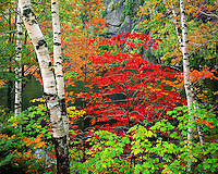 Maple and Birch trees in fall color along Chapel Pond in the Dix Mountain Wilderness; Adirondack Park & Preserve, NY