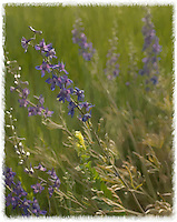 painted image of a Geyer Larkspur (poison weed