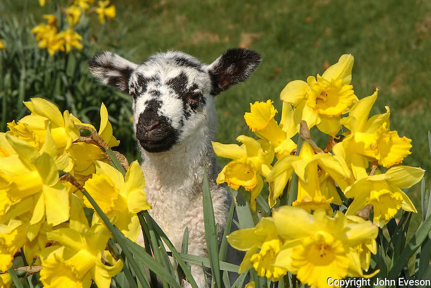 Mule lamb with daffodils, Chipping, Lancashire.