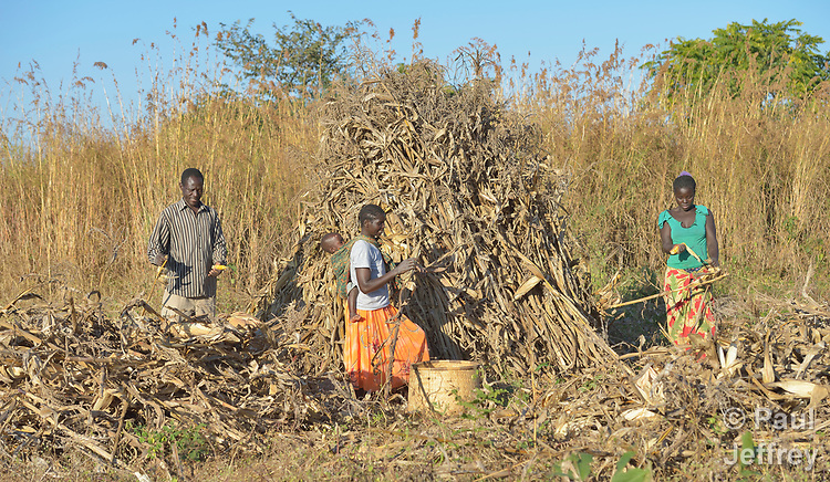 Jacob Mvula (left), Modesta Munyayi and Maureen Ngulube harvest corn in Edundu, Malawi. They and other farmers in the village have benefited from intercropping and crop rotation practices they learned from the Malawi Farmer-to-Farmer Agro-Ecology project of the Ekwendeni Mission Hospital AIDS Program, a program of the Livingstonia Synod of the Church of Central Africa Presbyterian.