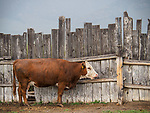 Hereford cow and withered wooden fence, Thousands Springs Valley, Idaho.