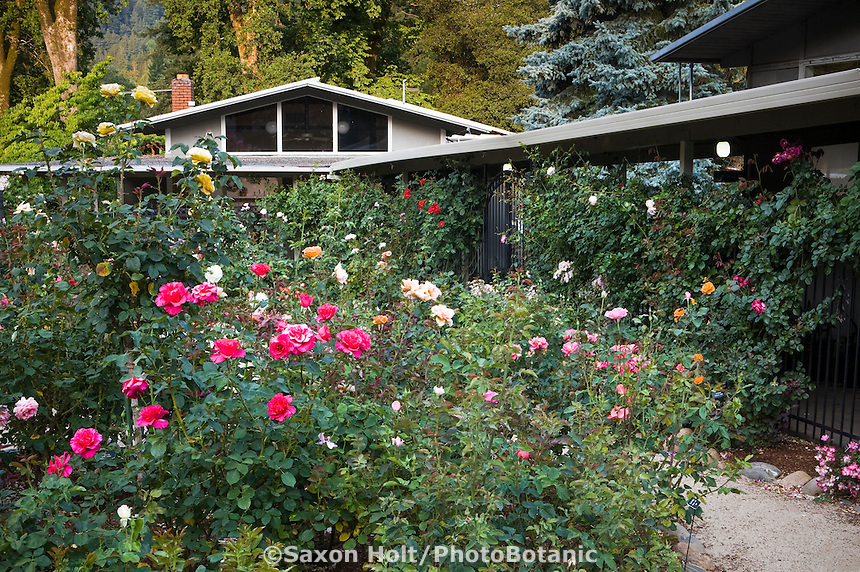 Pesticide free rose garden at Marin Art and Garden Center