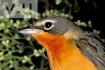 Yellow-breasted Chat head (Icteria virens), orange variant or mutant, North America.