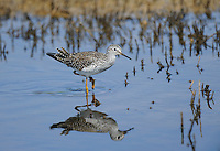 598250001 a wild lesser yellowlegs shorebird tringa flavipes forages in a small pond in ventura county california united states