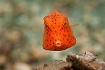 Juvenile Honeycomb Cowfish, Acanthostracion polygonius, swims over the gravel bottom of the Lake Worth Lagoon, Singer Island, Florida, marinelife