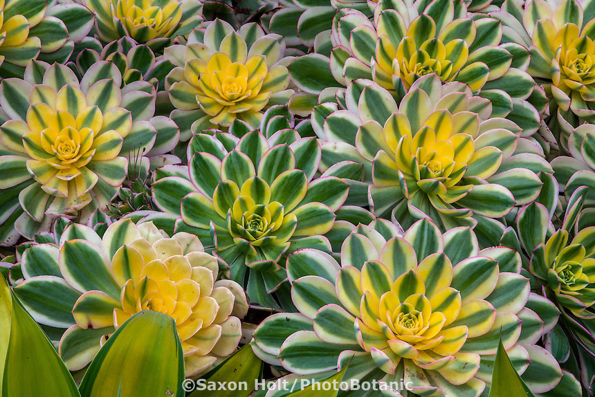 Aeonium 'Sunburst', Variegated foliage succulents