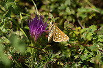 Silver Spottted Skipper Butterfly, Hesperia comma, Queensdown Warren, Kent Wildlife Trust, UK, nectaring on flower