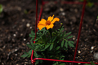 A flower is seen in a community garden organized to produce organic food at Brooklyn in New York,  May 10, 2013, Photo by Eduardo Munoz Alvarez / VIEWpress.