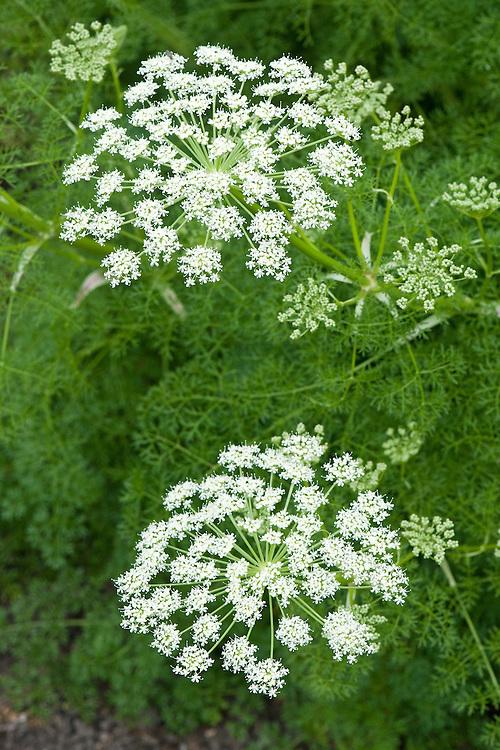 Ligusticum lucidum, mid June.