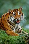 Bengal tiger portrait (captive)