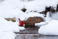 01530-21112 Northern Cardinal (Cardinalis cardinalis) male drinking in winter, Marion Co., IL