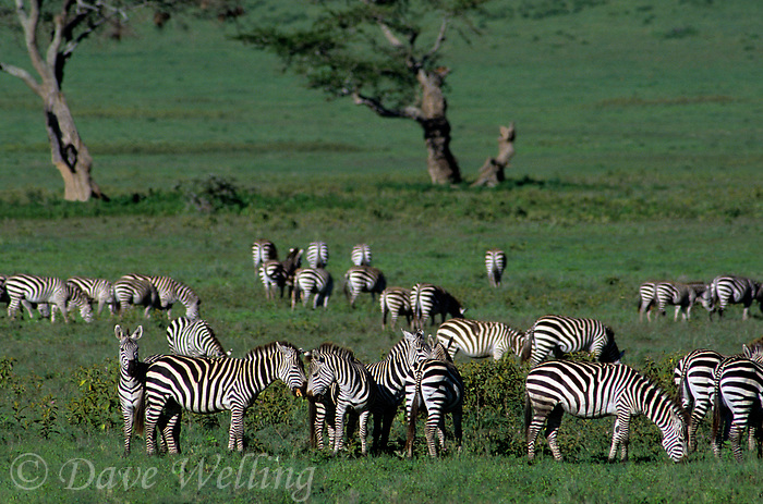 69937602 a wild small herd of burchells zebras equus burchelli graze and interact on the veldt floor of ngorogoro crater national park in tanzania