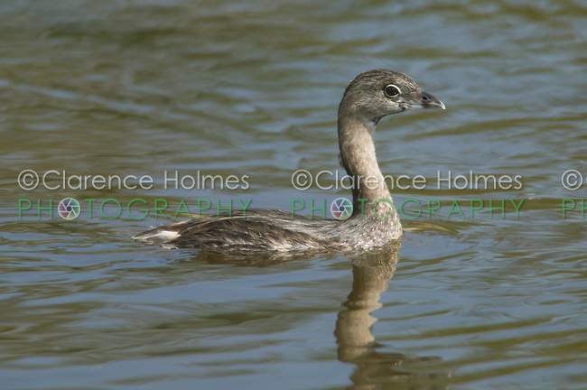 "Pied-billed Grebe (Podilymbus podiceps), J.N. ""Ding"" Darling National Wildlife Refuge (Bailey Tract), Sanibel, Florida"