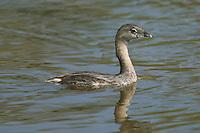 "Pied-billed Grebe (Podilymbus podiceps), J.N. ""Ding"" Darling National Wildlife Refuge (Bailey Tract), Sanibel, Florida"