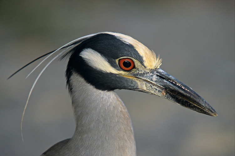 A closeup head shot of a Yellow-Crowned Night-Heron . Locartion: Ding Darling,.Sanibel, Southwest Florida, USA.