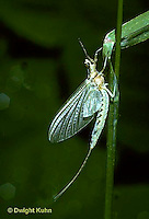 1E02-004b  Mayfly - female subimago adult emerging from nymph skin - Hexagena limbata