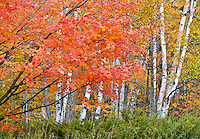 Maples and Birch trees fill the forest with a juniper base in a field in The Clearing preserve, Ellison Bay, Door County, Wisconsin