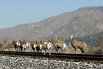 Bighorn sheep along railroad tracks, which parallel Highway 97, south of Entiat, WA.