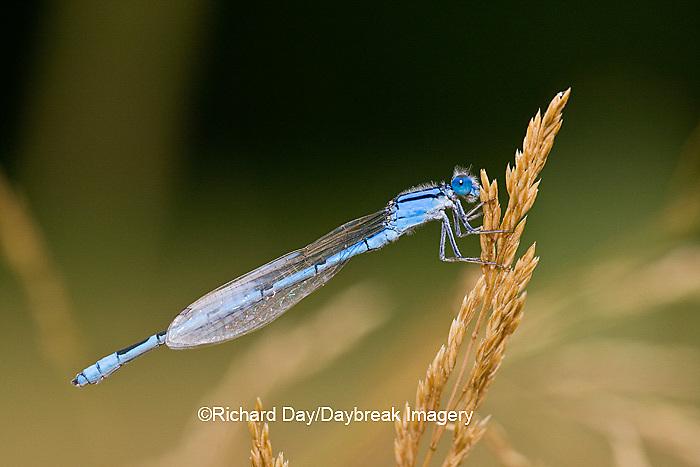 06105-00105 Familiar Bluet (Enallagma civile) damselfly male Marion Co.  IL