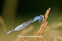 06105-00105 Familiar Bluet (Enallagma civile) damselfly male Marion Co.  IL
