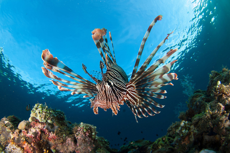 Common lionfish: Pterois volitans, facial view showing spines, Komodo National Park