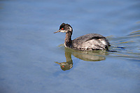 Eared Grebe (Podiceps nigricollis californicus), adult in winter plumage swimming in a pond at the Desert National Wildlife Refuge outside Las Vegas, Nevada.