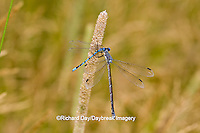 06033-00109 Sweetflag Spreadwing (Lestes forcipatus) damselfly male eating a Familiar Bluet (Enallagma civile) damselfly near wetland, Marion Co. IL