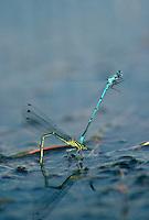 Hufeisen-Azurjungfer, Hufeisenazurjungfer, Azurjungfer, Männchen, Coenagrion puella, Azure Damselfly, Eiablage, Männchen hält Weibchen hinter dem Kopf fest