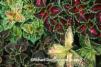 63821-069.10 Coleus (Solenostemon scutellarioides) Marion Co.  IL