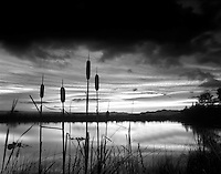 Cattails on pond at Summer Lake Inn, Oregon