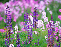 Lupine with phlox in background. VanDusen Botanical Garden, Vancouver, BC