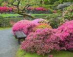 Seattle, WA: Blossoming azaleas encircle a bench on a pathway in the Seattle Japanese Garden in the Washington Park Arboretum in spring