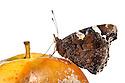 Red Admiral butterfly {Vanessa atalanta} feeding on rotten apple. Peak District National Park, Derbyshire, UK. August.