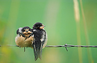 Barn Swallows, Washington