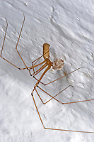 Große Zitterspinne, Grosse Zitterspinne, Weibchen trägt Eikokon, Eier, Zitter-Spinne, an der Zimmerdecke in der Wohnung, Pholcus phalangioides, long-bodied cellar spider, longbodied cellar spiderPholcidae, Zitterspinnen