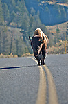 "A bison owns the road in Yellowstone National Park. ""Because it's mine, I walk the line."""