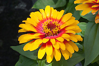 Zinnia Swizzle Scarlet and Yellow annuals flower in summer garden bloom in red and yellow color