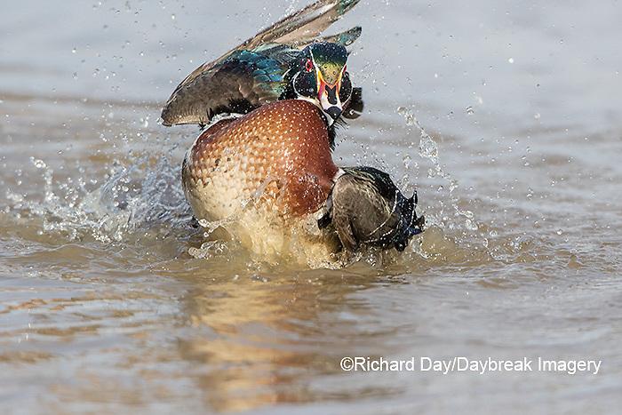 00715-09016 090.12 Wood Duck (Aix sponsa) male bathing in wetland, Marion Co., IL