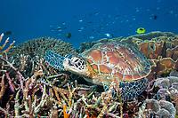 Green Sea Turtle, Chelonia mydas, Komodo National Park, Lesser Sunda Islands, Indonesia, Pacific Ocean