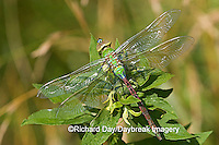 06361-005.01 Common Green Darner (Anax junius) teneral (juvenal) Marion Co. IL